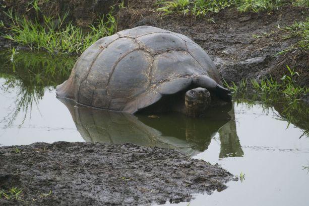 landschildpad in bad