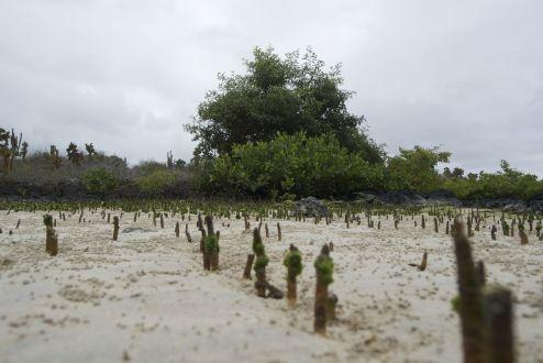 jonge mangrove