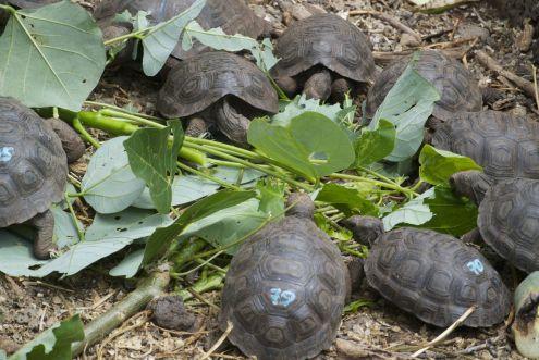 opgroeiende schildpadden bij Darwin Research Center
