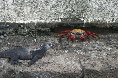 leguaan en Sally Lightfoot crag in Puerto Ayora
