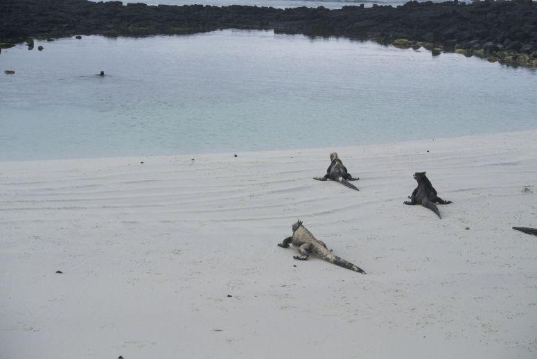 leguanen op strand bij Tortuga Bay