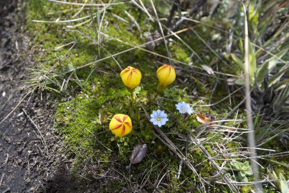Paramo Tulip (Gentianella hirculus) en Gentiana sedifolia