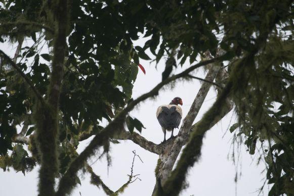 Koningsgier in San Sebastian Rainforest