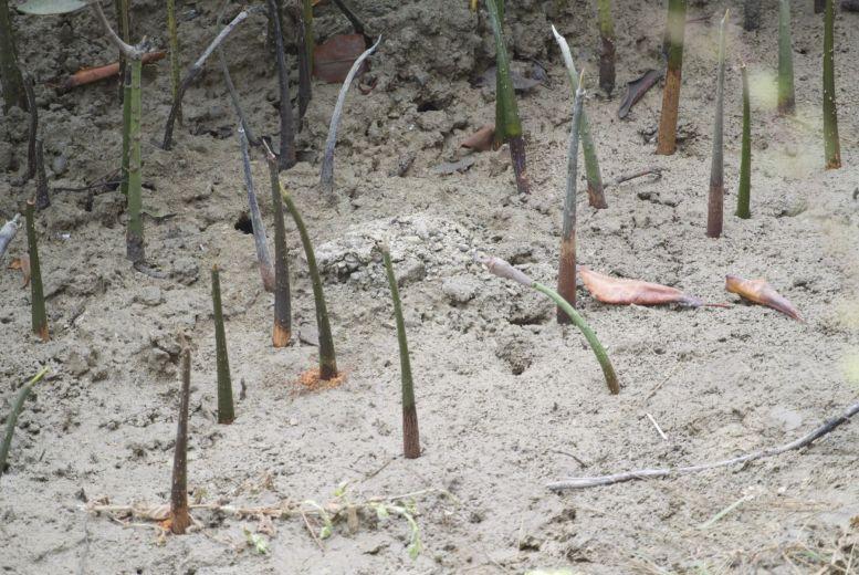 We helpen symbolisch mee aan de nieuwe aanplant van mangrove