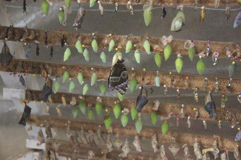 Als je een tijdje bij de poppen blijft staan zie je verschillende vlinders uit hun omhulsel kruipen.