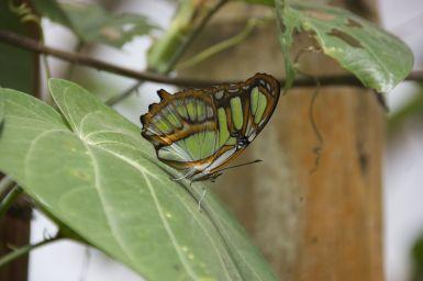 Prachtig die doorzichtige vleugels van deze vlinder.