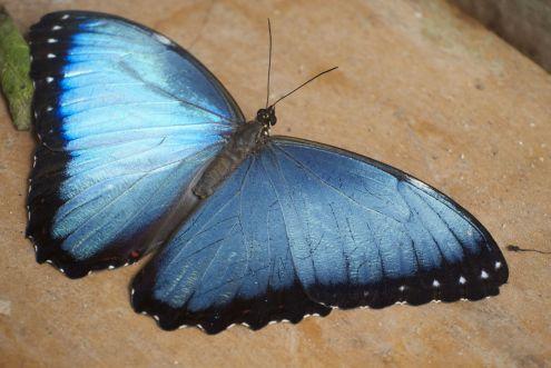 De prachtige blauwe kleur van de Morpho hebben we de vorige trip naar Ecuador in de jungle heel vaak tevergeefs geprobeerd vast te leggen. Hier is het heus een stuk makkelijker!