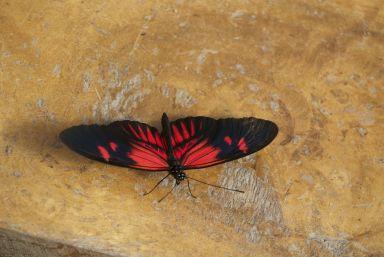Eén van de vele vlindersoorten in Mindo.