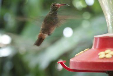 De vleugels gaan zo snel als ze rondhangen bij de voerbakjes. Deze steekt zijn tong naar ons uit.