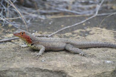 lava lizard op Isla Santiago