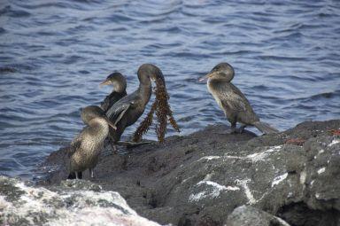 Zeg het niet met bloemen maar met zeewier. De flightless cormerants hebben een heel versier-ritueel door met zo veel mogelijk zeewier aan te komen zetten.