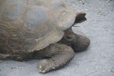De enige reuzeschildpad die we te zien krijgen vandaag. Maar hij blijft wel zo lekker stil liggen dat we 'm op de terugweg ook weer tegenkomen.