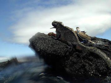 Dan steek je je hoofd even boven het water uit en dan zitten daar opeens een leguaan, een blue footed boobie en een Sally Lightfoot gezellig naast elkaar