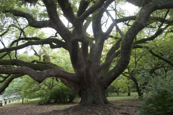 Mooie boom in het park bij het Imperial Palace