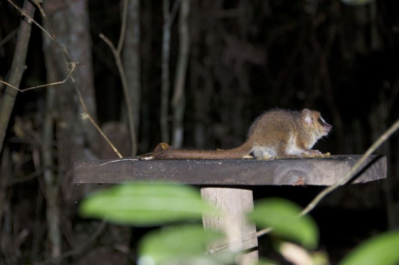 De muislemuren zijn klein en heel snel. Zonder de voertafels zouden we ze niet gezien hebben, laat staan kunnen fotograferen.