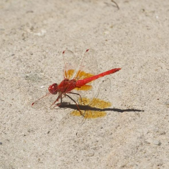 Deze libelle (of is het een waterjuffer?) geeft bijna licht!