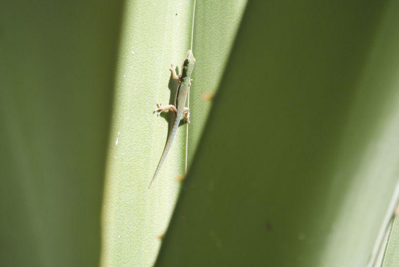 Ook hier weer een kleine gekko in de agave.