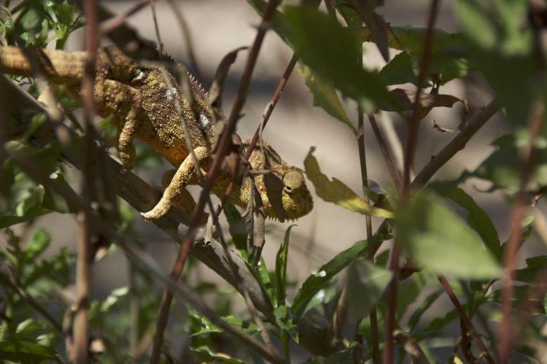 Als we na de tour nog wat rondlopen om van het uitzicht op de heuvel te genieten, wijst een tuinman ons op een kameleon, verstopt in de struiken.