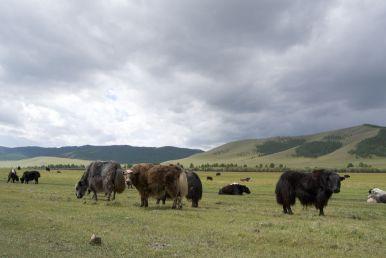 Voor een dag als vandaag is zo'n yak-jas wel lekker, maar ik vraag me af of ze het op de hete dagen niet vreselijk warm hebben.