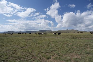Zo veel yaks!