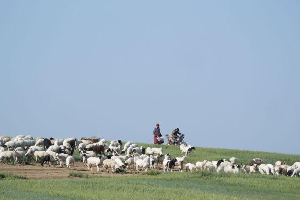 Kuddes met herders te paard of op de motor. Het gaat de komende weken een vast onderdeel van ons uitzicht vormen.