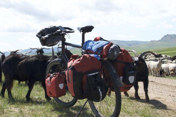 Geiten hebben de reputatie alles te eten. Deze wilden graag Jurjan's fietstassen proeven.