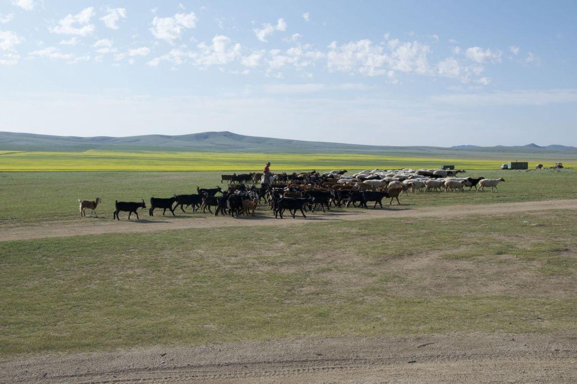 Ik vraag me regelmatig af hoeveel schapen, geiten en ander vee er nou uiteindelijk in Mongolië zijn. Een hoop meer dan mensen in ieder geval.