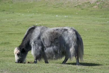 Yaks zijn rare beesten om te zien.