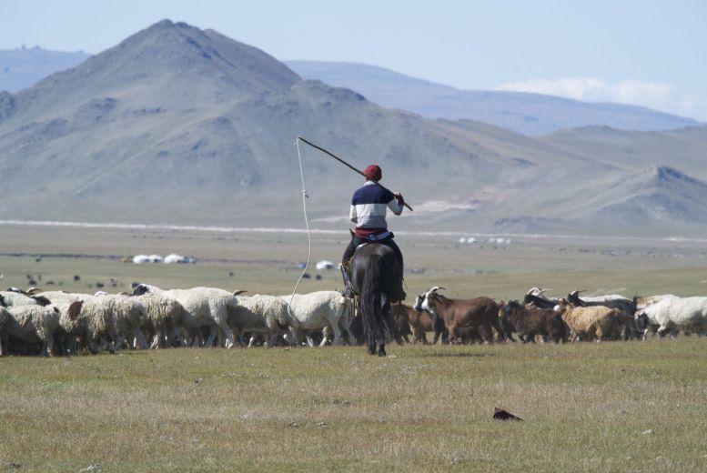 Onze bekende medeweggebruikers, schapen, geiten en een herder.