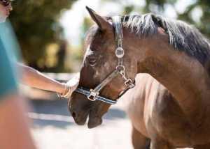 Pferde in Zusammenarbeit mit dem Menschen