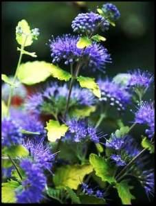 bluebeard-plant-c-incana-lo