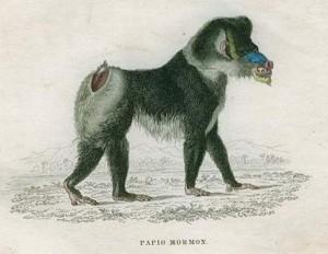 Figure 1: Simia mormon = Papio mormon