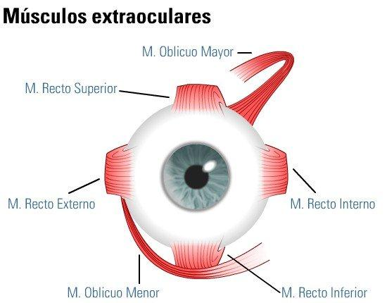 Musculos extraoculares