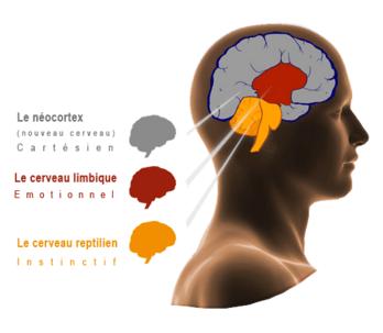 3-cerveaux