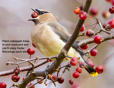 Cedar Waxwing by Mike and Laura Jackson