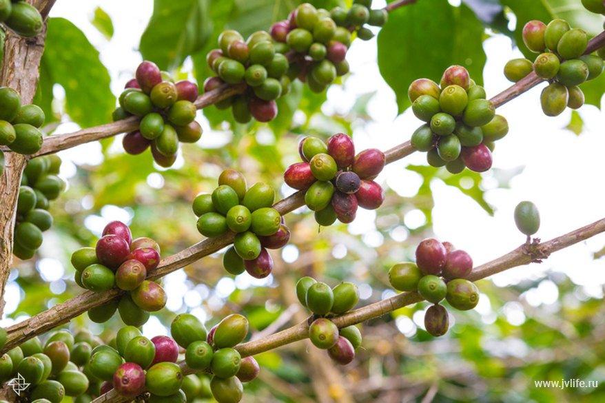 Фотофакт: как растет кофе | Высоцкая Life