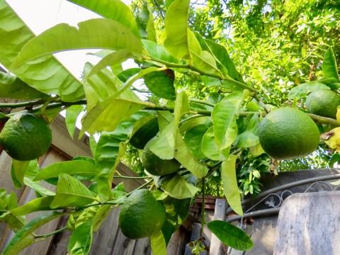 Green Sephardic etrogs growing in Rabbi Sara Shendelman's backyard (Photo/Rabbi Sara Shendelman)