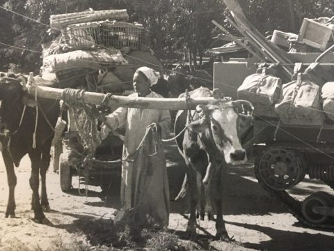 a woman with a cart overflowing with belongings pulled by two oxen