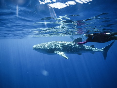 Rebecca Handler swims with a whale shark in Western Australia.