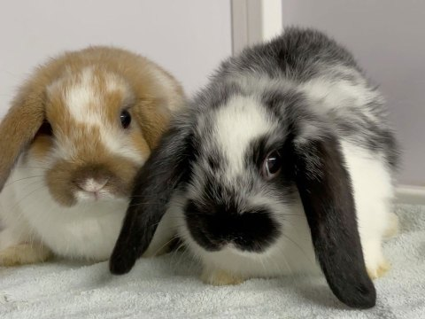 Two baby bunnies, one black and white, the other brown and white