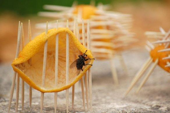 la mouche sort de sa prison pamplemousse