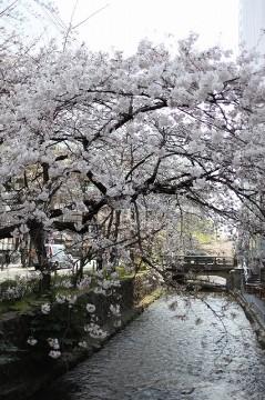 先斗町の桜