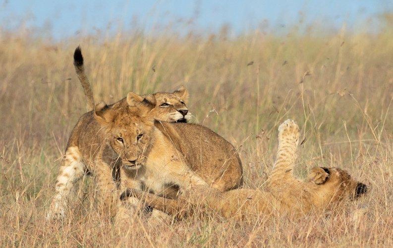 Lions pride in Uganda