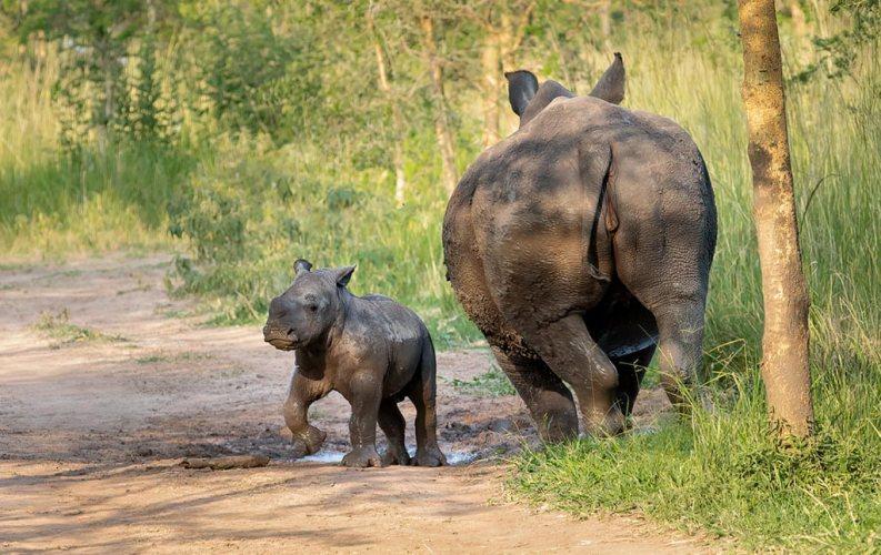 Ziwa Rhino Sanctuary Tour in Uganda