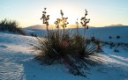 Yucca shoots abound at White Sands.
