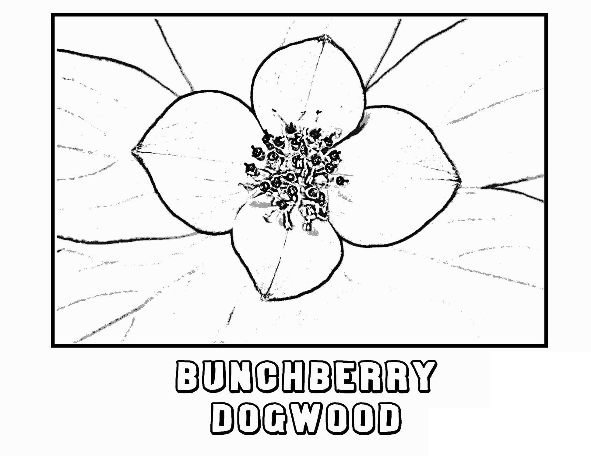 Flower Coloring Bunchberry Dogwood K5 Worksheets