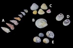 Seashells, arranged in 5 groups