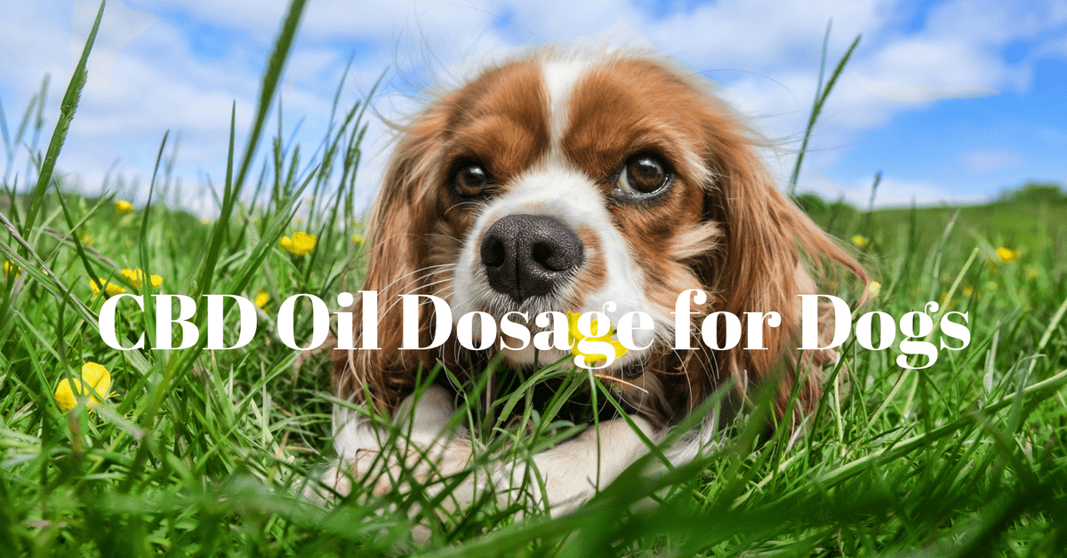 CBD oil dosage for dogs. How much cbd for my dog? cbd oil for dogs. cbd dosage for dogs. Benefits of cbd oil for dogs. CBD oil for dogs side effects. CBD dosage for dogs. How much CBD for dogs? CBD Tincture dosage for dogs. CBD oil for dogs Cancer dosage.