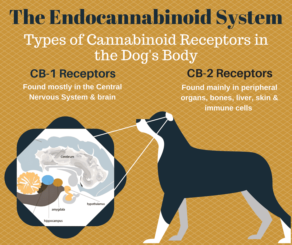 Canine Endocannabinoid System Infographic. CBD receptors in dogs