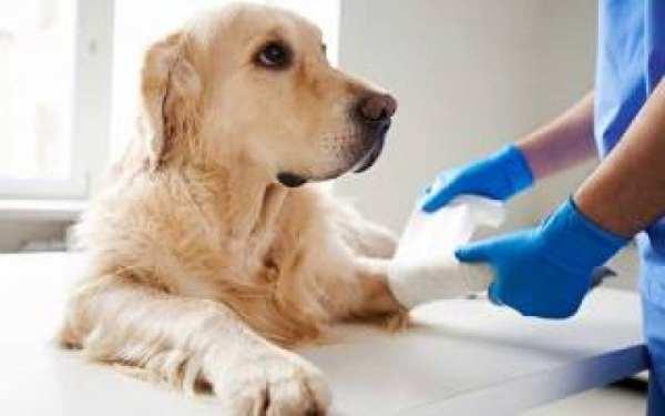 CBD for dogs. CBD oil for senior dogs.